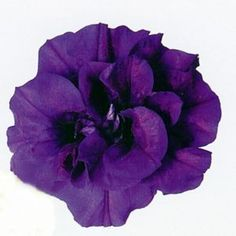 Petunia Double Wave Blue