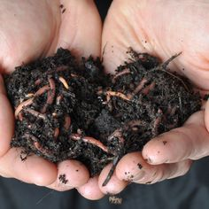 FREE SHIPPING. Red Wiggler Worms (Eisenia foetida) process large amounts of organic matter and, under ideal conditions, can eat their body weight each day.