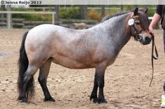 Shetland Pony - mare Hairy Tail