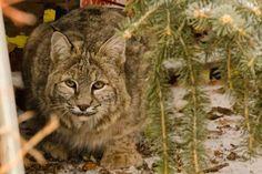 Photos: Bobcat visits Boulder neighborhood | FOX31 Denver Bouldering, Art Reference, Denver, The Neighbourhood, Lion, Nature, Photos, Animals, Leo