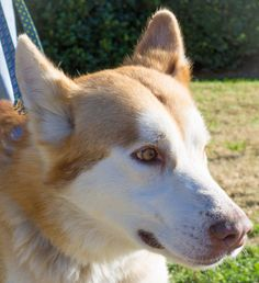 Approximately five years old,  handsome Redford knows how to pose for the camera.  He has a medium length red and white coat and although he weighs 72 pounds, Redford will need to gain at least 10 to 15 more pounds to fill out his frame. Please...