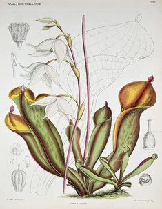 Botanical paintings of other carnivorous plants - InnerWorlds