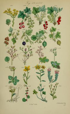 British wild flowers.. London,J. Van Voorst,1876.. biodiversitylibrary.org/page/12352762