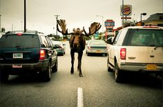 Just a moose in the middle of traffic. :) Street photography in Anchorage, Alaska.