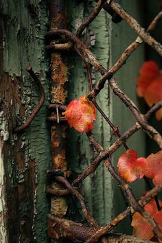 love the colors and textures . rusty gate, peeling paint, and the delicate leaves . Wabi Sabi, Foto Macro, Rust Never Sleeps, Peeling Paint, Belle Photo, Autumn Leaves, Red Leaves, Color Inspiration, Autumn Inspiration