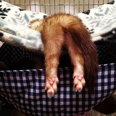 Ferret tush. I miss my ferret :/ Sometimes you just can't make it all the way into the hammock...