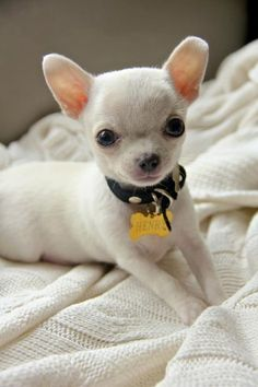 The 1st Day: BE SMART- Ur #chihuahua needs to be wearing an ID tag THE VERY 1ST DAY!