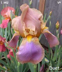 Duet   Historic Iris Preservation Society