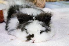 Gorgeous black & white bunny