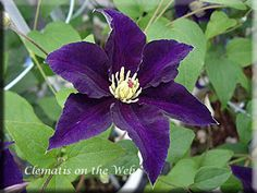 Clematis 'Dancing Star' Dark violet or purple flowers with yellow anthers.