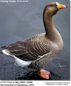 Greylag goose,Spain - Google Search