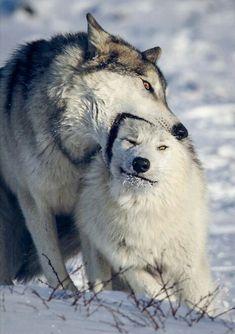 Eurasian Wolf, Wolf Love, Mundo Animal, Husky, Logo Design, Wolves, Pets, Animals, Wolf