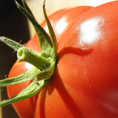 """""""http://fotomacro.tumblr.com/ Copyright © 2015 Foto Macro - All Rights Reserved #fall #autumn #macro #nature #photography #tomato #fruit #vegetable…"""""""