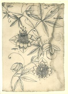 Passion flower (Passiflora) sketch drawing by Frei Cristovao de Lisboa while he wasa missionaire in Maranhao, Brazil (1625-1631).