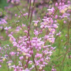buy Thalictrum delavayi (dipterocarpum) Delicate and charming with very deeply divided foliage and an airy head of pink flowers with hanging yellow stamens. Pink Clouds, Verbena, Green Lace, Shrubs, Pink Flowers, Perennials, Purple, Lavender, Yard