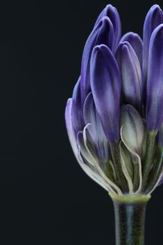 Agapanthus Bud by Alyson Fennell / 500px Purple Flowers, Beautiful Flowers, Beautiful Flower Quotes, Seed Pods, Flower Pictures, Botanical Art, Flower Art, Flower Power, Planting Flowers