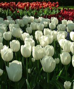 Tulip White Marvel - Single Early Tulips - Tulips - Fall 2015 Flower Bulbs