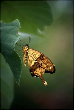 The African Swallowtail, Mocker Swallowtail or Flying Handkerchief(Papilio dardanus), is a species of butterfly in the family Papilionidae (the Swallowtails). The species is broadly distributed throughout sub-Saharan Africa
