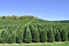 Christmas Tree Care Tip: Your tree is a living! Be sure to check it's water supply daily Christmas Tree Care, Fresh Cut Christmas Trees, Water Supply, Vineyard, Landscaping, Gardening, Check, Outdoor