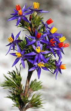 Blue Tinsel Lily (Calectasia), Australia