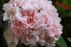 Pelargonium Edwards Elegance
