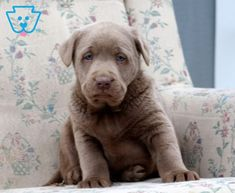Snoop   Labrador Retriever - Silver Puppy For Sale   Keystone Puppies Baby Puppies For Sale, Silver Labrador Retriever, Silver Lab Puppies, Silver Labs, Design Development, Cute Babies, Pitbulls, Face, Dogs