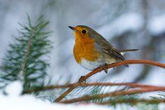 Červenka obecná Parrot, Robin, Birds, Nature, Animals, Parrot Bird, Naturaleza, Animales, Animaux