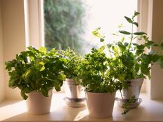 How to grow herbs indoors this winter. In most cases, growing herbs indoors is as easy as digging up the roots of your garden herbs and putting them in a. Herb Garden In Kitchen, Kitchen Herbs, Cozy Kitchen, Kitchen Tips, Indoor Vegetable Gardening, Container Gardening, Herb Gardening, Organic Gardening, Biodynamic Gardening