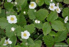 idaho Wild Strawberry (Fragaria vesca bracteata). | : Fragaria bracteata, Fragaria crinita, Fragaria vesca ssp. bracteata ...