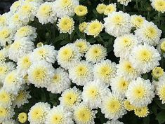 white mums - Google Search