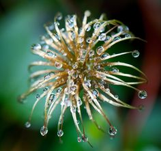 """Jewelled Clematis"" Seed head of Clematis ""Princess Diana"" after the rain"