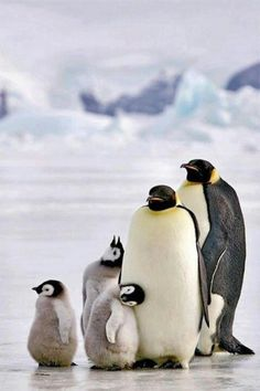So adorable, penguin family