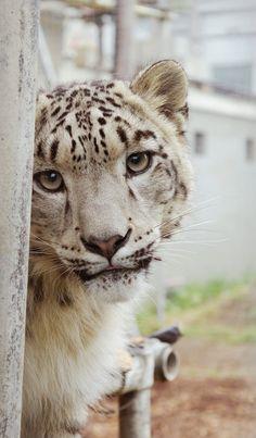 @Maysociety Nina the Shy Snow Leopard - Cat Survival Trust, Hertfordshire