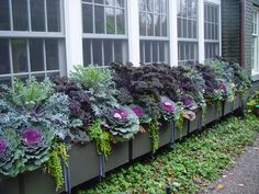 window box is full of ornamental kale and other various types of kale...with some creeping jenny trailing down...