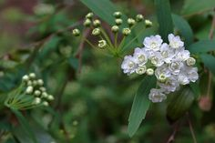 may flowers  | May bush flowers | Flickr - Photo Sharing!