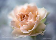 rose by kusoksveta. @go4fotos
