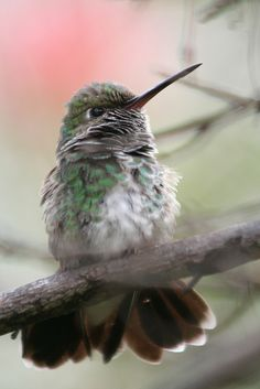 Emerald Hummingbird