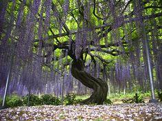 Ashikaga Flower Park | ashikaga flower park 62 Las flores del parque de Ashikaga