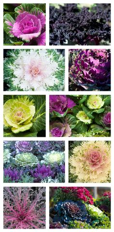 Ornamental Cabbage & Kale is the go-to plant for fall containers and beds. Geometric or feathery, bold or subtle, it can be hard to decide which to take home with you! Autumn Flowering Plants, Winter Plants, Ornamental Cabbage, Ornamental Plants, Shade Plants Container, Container Gardening, Fall Flowers, Pretty Flowers, Window Box Flowers