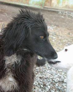 Kyrgyz Taigan Sighthound Borzaya