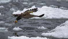 #White_Tail_Sea_Eagle - I named this Image (Flight Fishing) - copyrighted - bruna@thrumyafricanlens.co.za