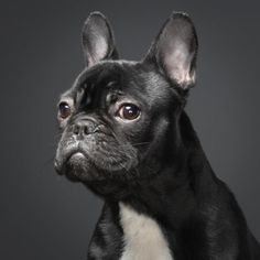 Urban types love French bulldogs.