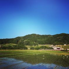 Rice field and egrets