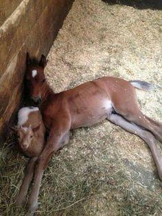 i love foals Cute Horses, Pretty Horses, Horse Love, Beautiful Horses, Animals Beautiful, Funny Horses, Cute Funny Animals, Cute Baby Animals, Animals And Pets