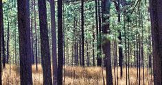 Longleaf Pine Forest, Weymouth Woods Sandhills Nature State Nature Preserve, Southern Pines. . . by Doug Jones