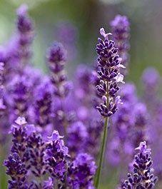 Six plants that repel mosquitoes - Canadian Gardening #gardeninggreatness