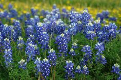 Texas blue bonnets...miss taking pictures in them every year.