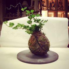 KOKEDAMA B612 by Clo & # 8217; eT.  Antica Coltivazione giapponese.  Un Insieme di 6 Componenti Specifici, fanghi -muschi- Argille -terre- Sostanze nutritive e drenanti - Avvolte da ONU manto di muschio permettono alla pianta di vivere senza tutto & # 8217; interno di Quello che è ONU vaso Completamente naturale.  Le kokedama Posso Essere sospese nell & # 8217; aria mezzo fili o appoggiate su piatti ornamentali.  Foto: kokedama di edera su piatto in cemento da Clo & # 8217; eT.  Varie ...