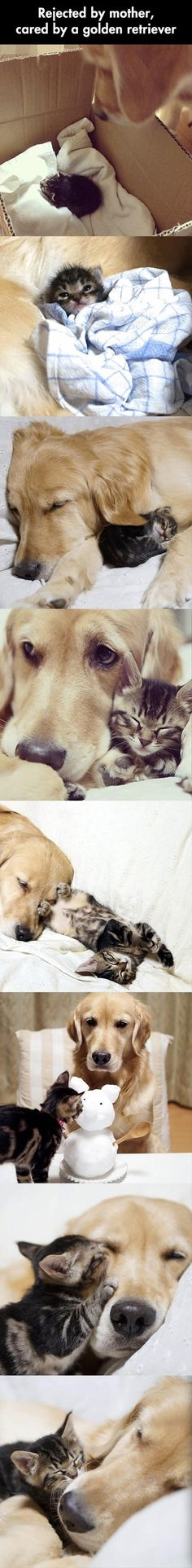 Cat rejected by its mother, cared for by a golden retriever.. Awww so cute