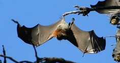grey-headed flying foxes  100,000 'Megabats' Attack Batemans Bays: Locals 'Prisoners In Their Homes'